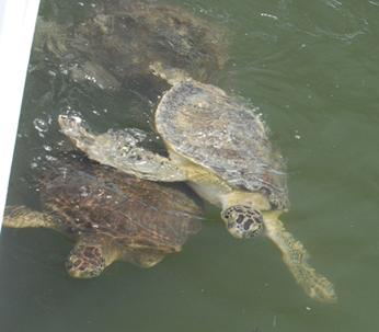 Marathon Key Turtle Hospital